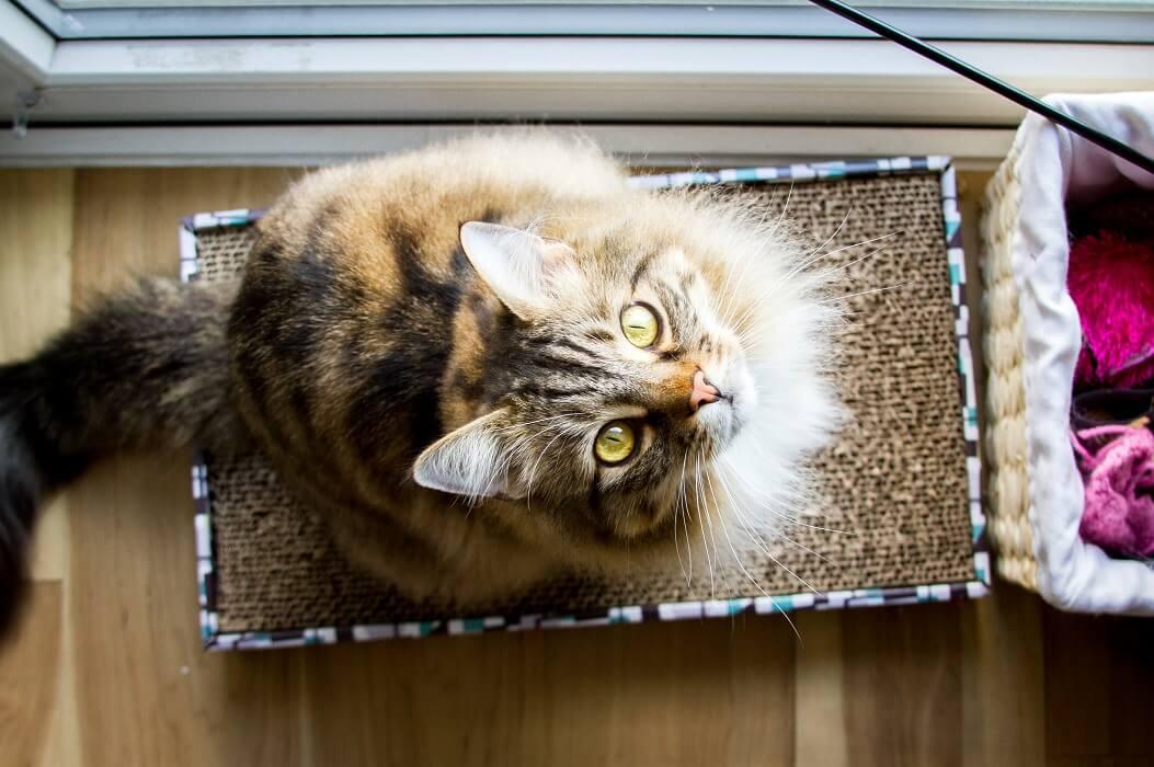 Gato Sentado Em Um Arranhador De Papelão.