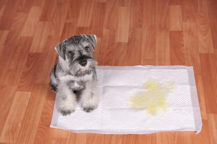 Cachorro Em Cima De Tapete Higiênico.