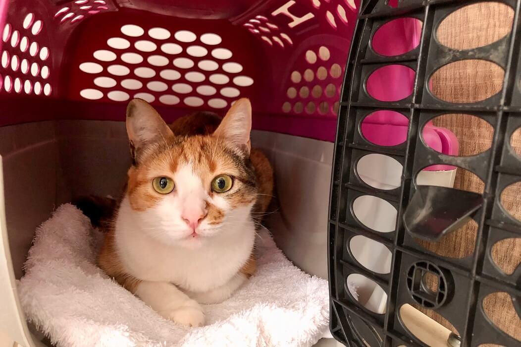 Gata Tricolor Deitada Em Caixa De Transporte Para Gatos