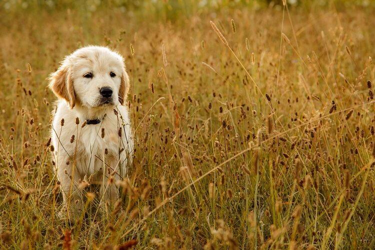 Filhote de golden retriever caminhando no mato
