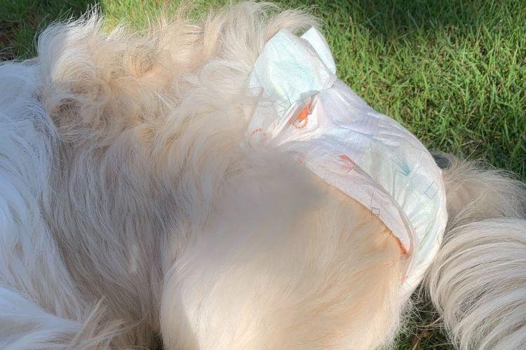 Cachorra usando fralda