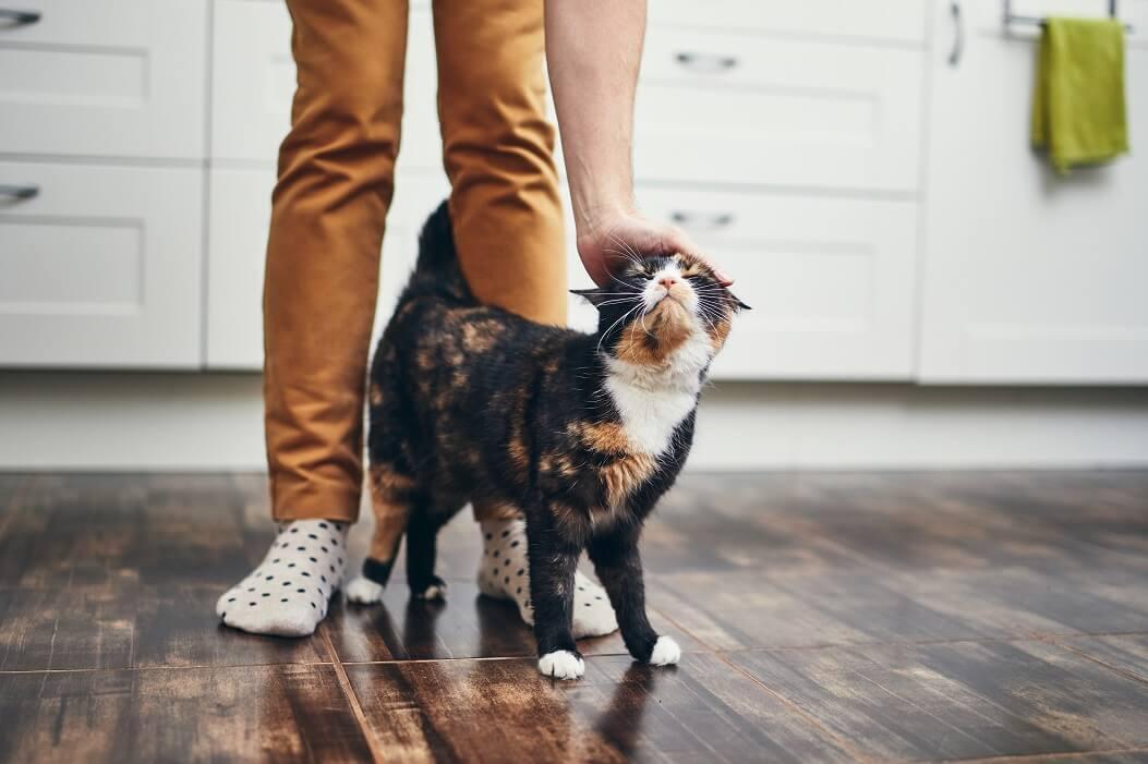 Como Cuidar De Gatos: Gata Tricolor Recebendo Carinho Do Seu Tutor