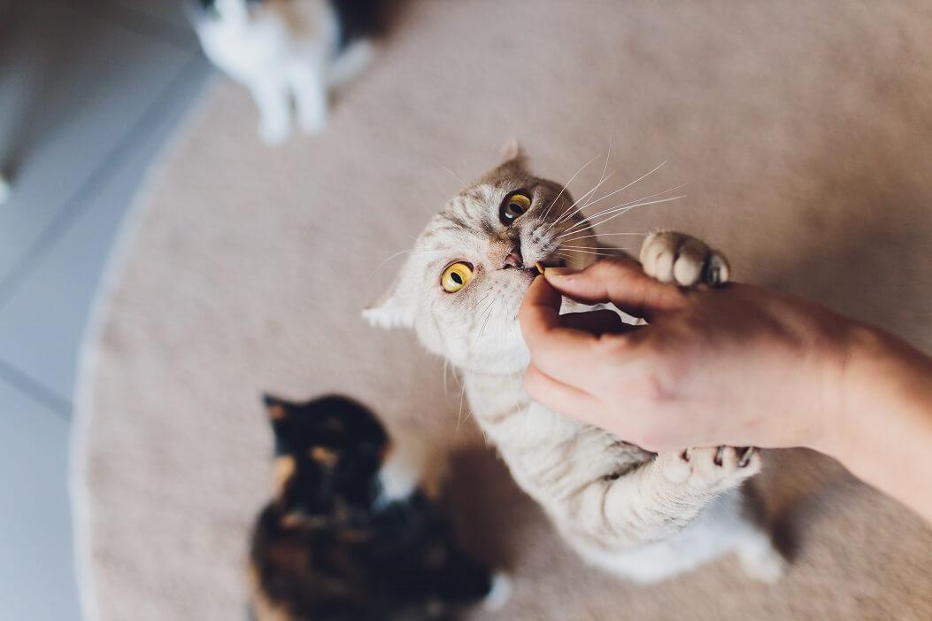 Humano Dando Petiscos Para Gatos