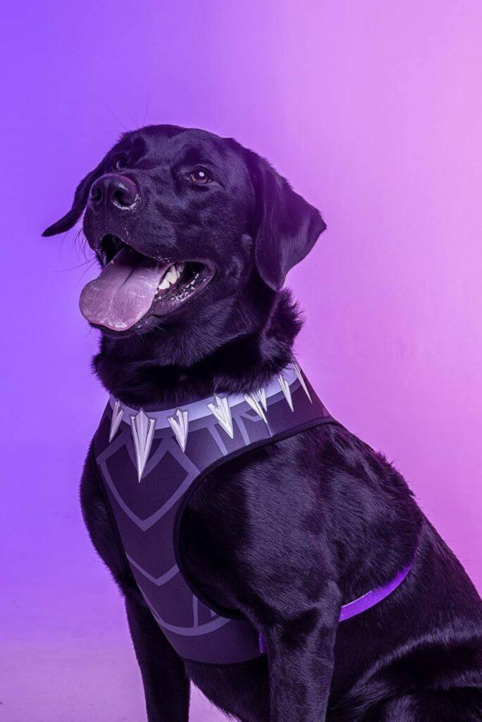 Labrador com coleira peitoral do Pantera Negra e língua de fora.
