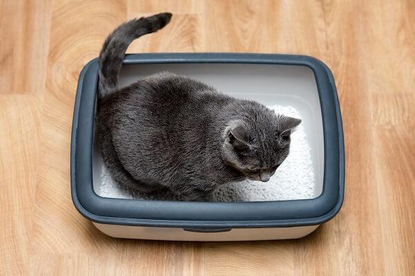 melhor caixa de areia para gatos. gato cinza utilizando substrato na bandeja sanitária.