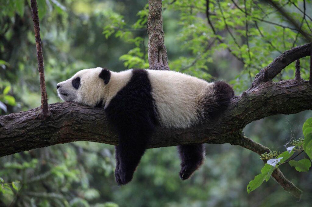 Nada como pijamas kigurumi para dormir como um panda