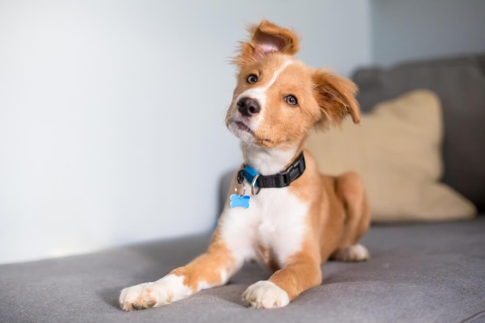 Cachorro Caramelo Com Manchas Brancas De Coleira Em Cima Do Do Sofá.