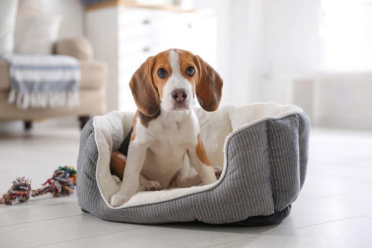 Beagle sentado em cama para cachorros cinza.