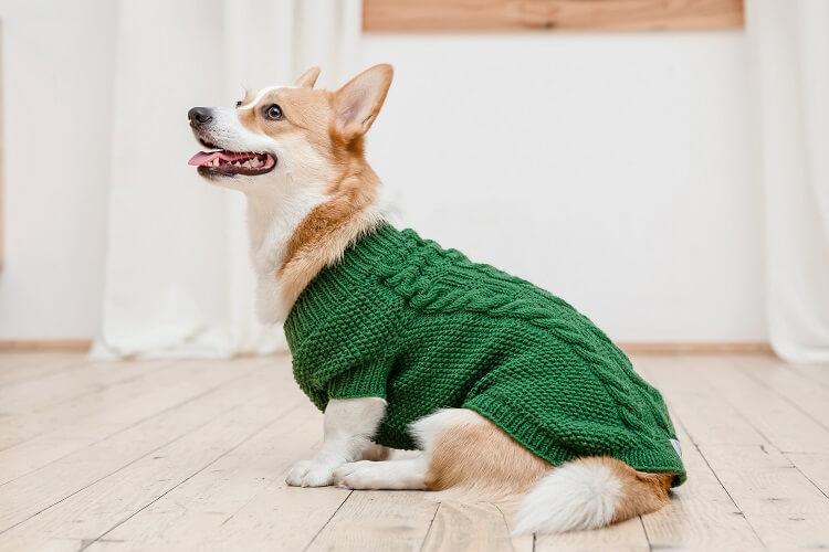 Corgi com casaco de trico.
