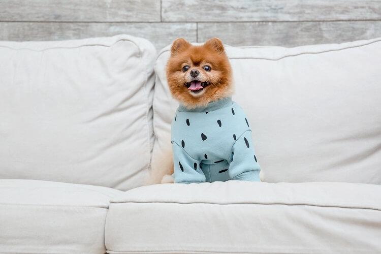 Cachorro lulu da pomeraniana com casaco azul.