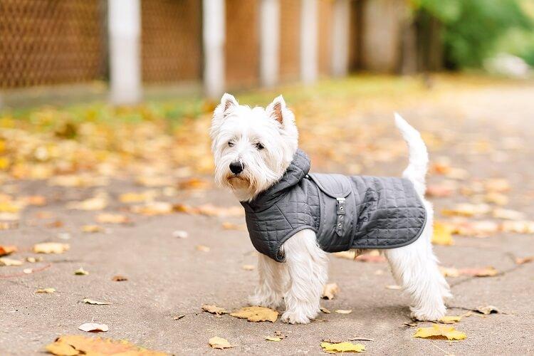Terrier com jaqueta preta.