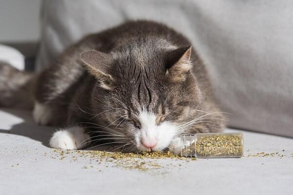 brinquedos com catnip. gato cheirando catnip seca