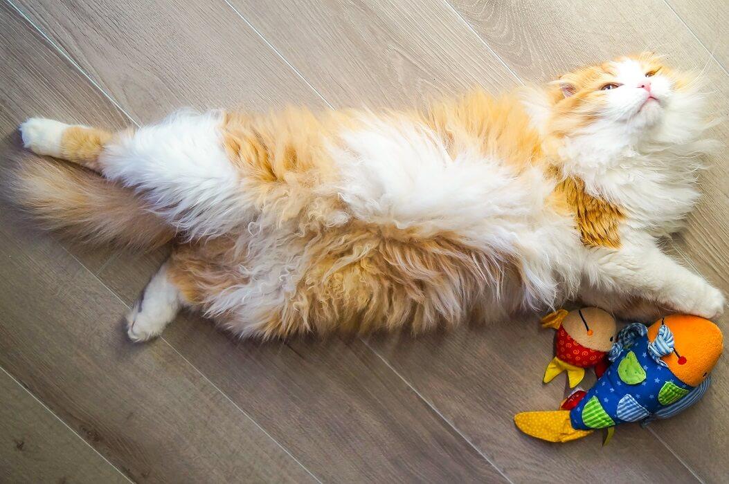 Gato Feliz Deitado No Chão Com Brinquedos Com Catnip