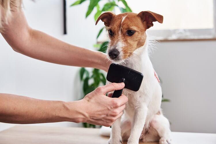 Mulher escovando cachorro branco e marrom com rasqueadeira preta